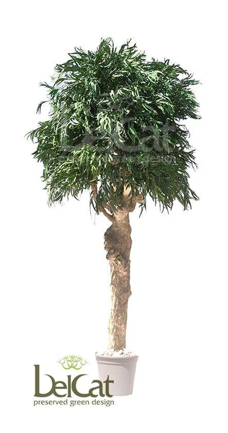 Fikus and Eucalyptus Trees